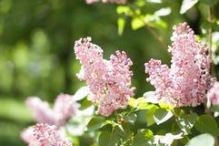 Flor lilás de florescência Fotografia de Stock Royalty Free