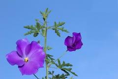 Flor lilás do hibiscus do prazer puro Imagem de Stock Royalty Free