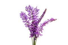 flor lilás do prado fotografia de stock royalty free