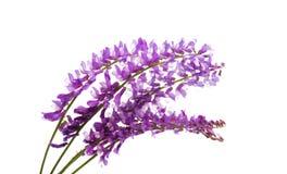 flor lilás do prado imagens de stock