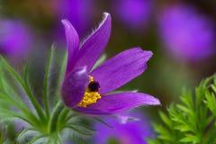 Flor lilás do pulsatilla Fotos de Stock Royalty Free