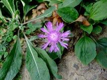 Flor lilás entre a grama Imagens de Stock