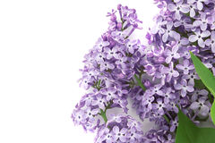 Flor lilás isolada no fundo branco com espaço vazio Imagens de Stock