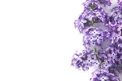 Flor lilás isolada no fundo branco com espaço vazio Fotografia de Stock