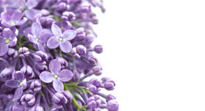Flor lilás isolada no fundo branco com espaço vazio para Imagens de Stock