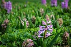 Flor lilás na mola fotografia de stock