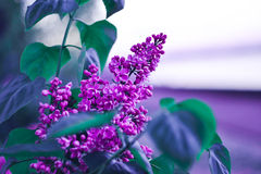 Flor lilás na noite Fotografia de Stock