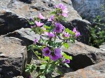 Flor lilás na rocha Imagem de Stock Royalty Free