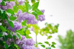 Flor lilás no lado da estrada Fotos de Stock