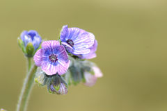Flor lilás pequena Fotografia de Stock