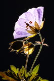 Flor lilás pressionada Imagem de Stock Royalty Free