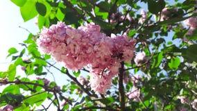 Flor lilás roxa vulgar do Syringa Foto de Stock