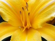 Flor - Lillie amarillo Imagen de archivo libre de regalías