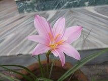 Flor Lilly Imagen de archivo