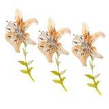 Flor Lily1 Fotografía de archivo libre de regalías