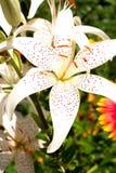 Flor Lily White Fotografía de archivo libre de regalías