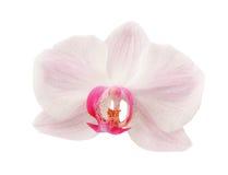 Flor listada rosa da orquídea Imagens de Stock Royalty Free