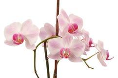 Flor listada rosa da orquídea Imagem de Stock