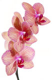 Flor listrada da orquídea Fotos de Stock