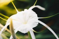Flor (littoralis de Hymenocallis, lirio de la araña de la playa) Fotos de archivo