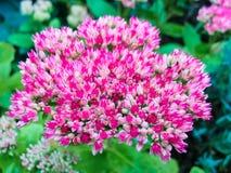 Flor Livelong Imagem de Stock Royalty Free