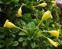 Flor llamativa del chalicevine Fotos de archivo