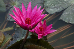 Flor, loto, Foto de archivo libre de regalías