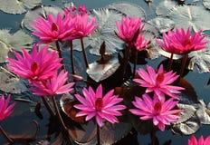 Flor, loto, Imagen de archivo