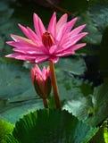 Flor, loto, superficie, al aire libre, árbol, floración, natural, parque Fotografía de archivo libre de regalías