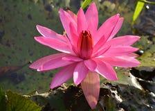 Flor, loto, superficie, al aire libre, árbol, floración, natural, parque Imagen de archivo