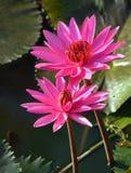 Flor, loto, superficie, al aire libre, árbol, floración, natural, parque Foto de archivo libre de regalías