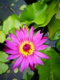 Flor Lotus imágenes de archivo libres de regalías