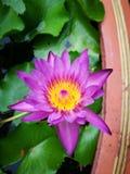 Flor Lotus imagen de archivo libre de regalías