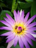 Flor Lotus imagenes de archivo