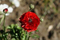 Flor luxúria vermelha Imagens de Stock