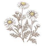 Flor médica de la margarita Fotografía de archivo libre de regalías