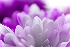 Flor macia Fotografia de Stock