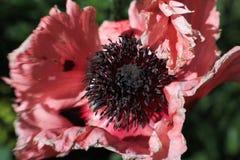 Flor macia da anêmona do rosa do borrão imagens de stock royalty free