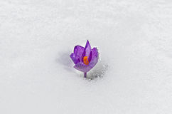 Flor macia da mola isolada no fundo branco Foto de Stock