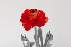 Flor macra color de rosa del rojo hermoso aislada en el fondo blanco Foto de archivo libre de regalías