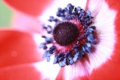 Flor macra de la anémona Imagen de archivo libre de regalías