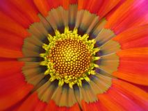 Flor macra de la dalia Foto de archivo libre de regalías
