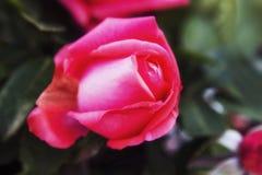 Flor macra de la rosa del rosa y fondo negro Imagenes de archivo