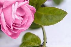 Flor macra de la rosa del rosa y fondo negro Foto de archivo libre de regalías