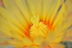 Flor macra del cactus Imagen de archivo libre de regalías