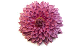 Flor macro Fotografia de Stock