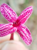 Flor macro cor-de-rosa imagem de stock