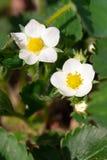 Flor macro de la flor de la fresa del primer en el día de verano soleado Imagen de archivo