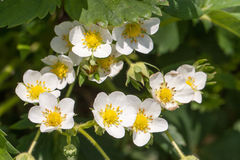 Flor macro de la flor de la fresa del primer en el día de verano soleado Imagenes de archivo