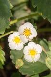 Flor macro de la flor de la fresa del primer en el día de verano soleado Fotografía de archivo libre de regalías